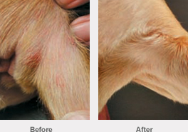 Skin Infection 2 Year Old Female Beagle