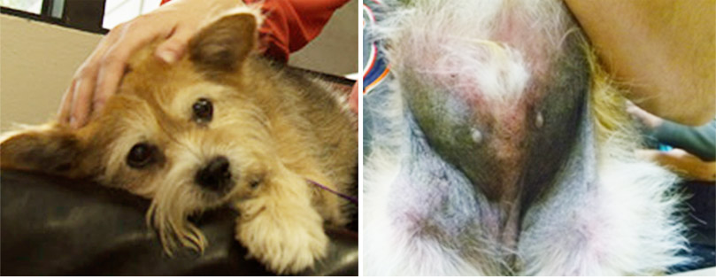 Harley's skin is damaged by canine atopic dermatitis