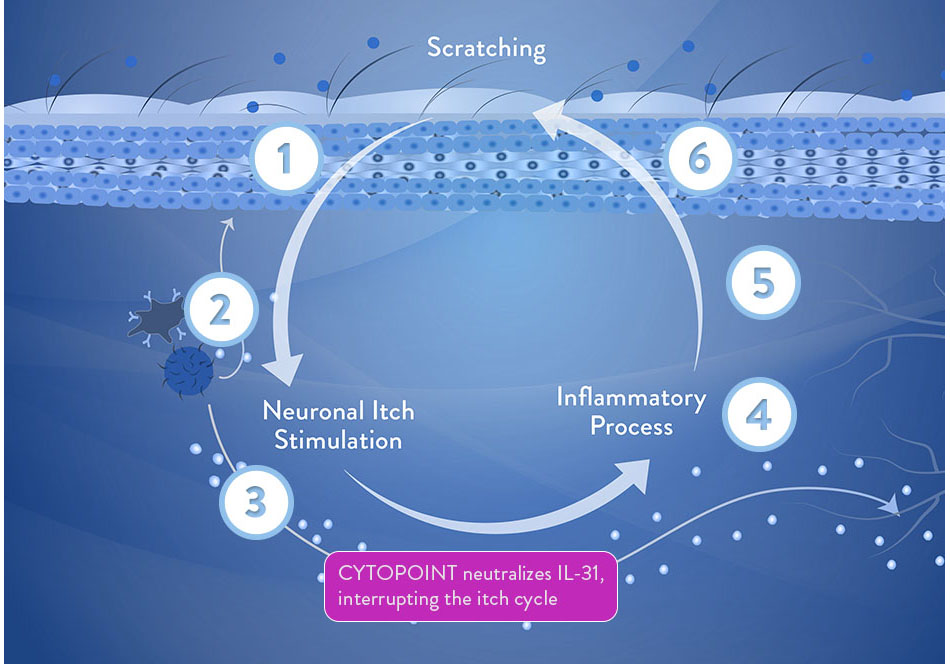 Canine Itch Cycle Diagram, CYTOPOINT interrupts the itch cycle