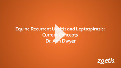 Equine Recurrent Uveitis and Leptospirosis