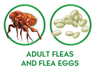 Adult Fleas and Flea Eggs